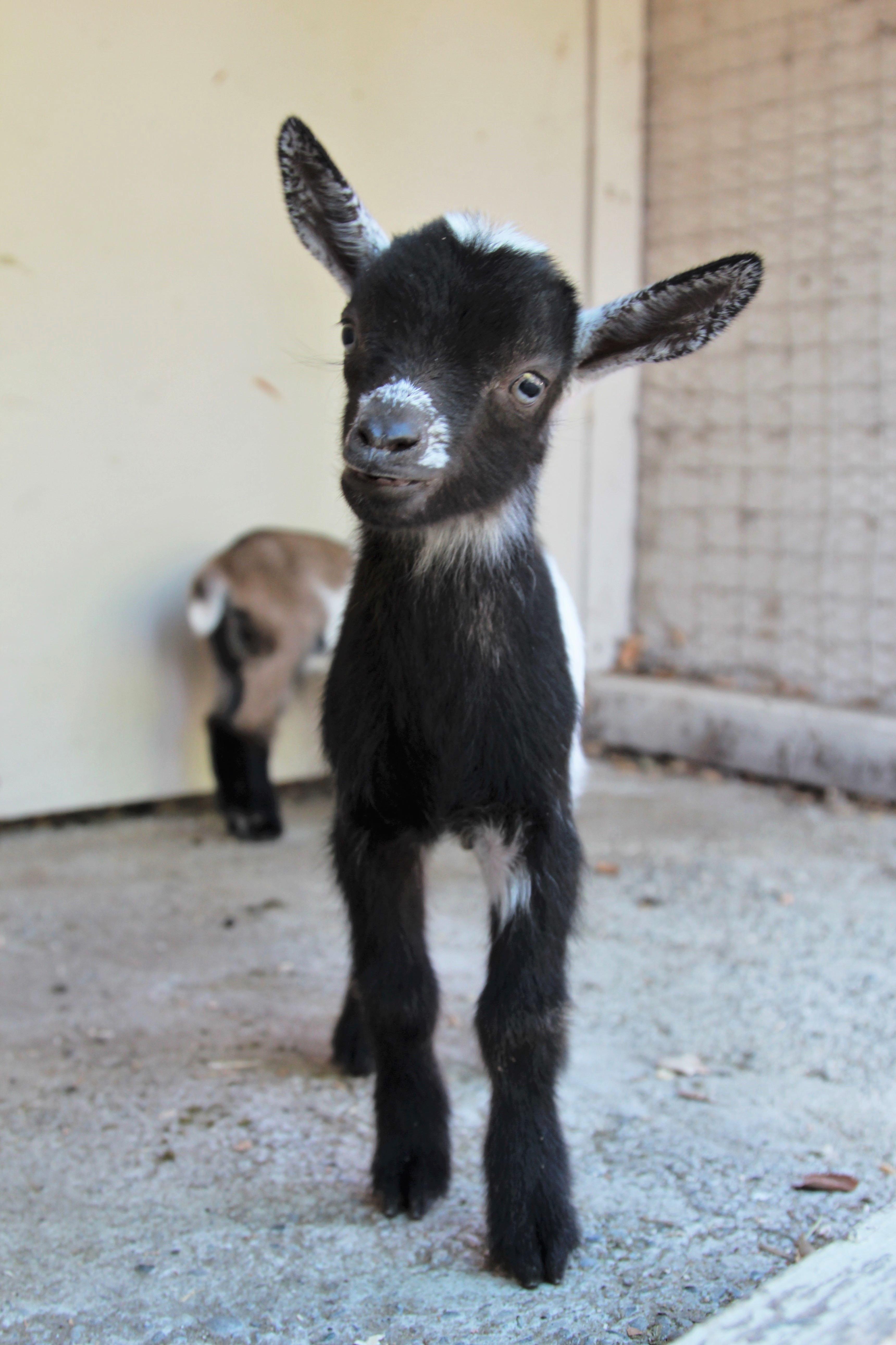Bucky the Goat